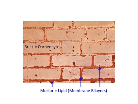 Bricks and Mortar Model of Stratum Corneum 480
