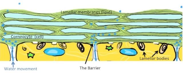 intact skin barrier