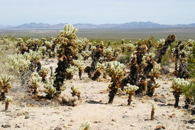 cholla desert