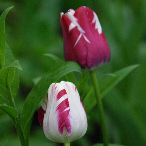 tulips2 504