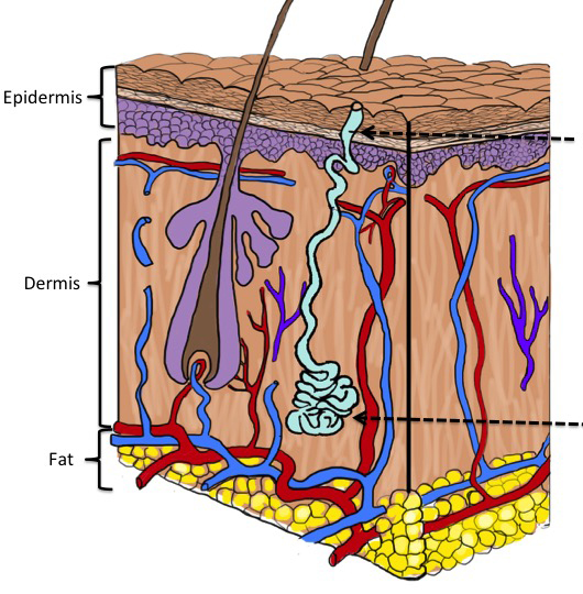 Diagram illustrating the 3 layers of skin.