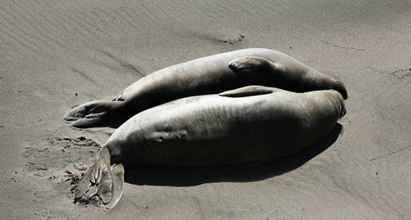 Fat is healthy for elephant seals. Could it also be good for the skin barrier as dome fat is for humans?