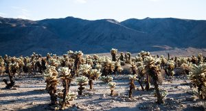 Climate change is impacting habitats such as those of Joshua trees and causing the spread of many infectious diseases