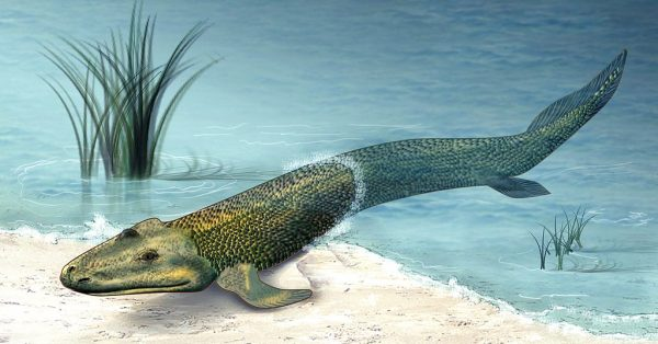 Ancient Fishapods, the earliest vertebrates to leave the seas for life on dry land, can teach us about the evolution of skin's many barriers, especially our waterproofing barrier that prevents the loss of water from our cells to the dry atmosphere. (Tiktaalik roseae by Zina Deretsky, Courtesy: National Science Foundation)